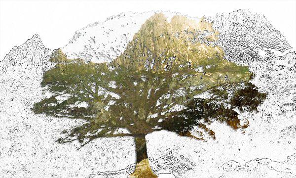 Quercus Cradle Mountain